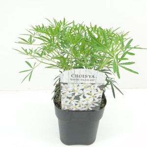 Choisya ternata WHITE DAZZLER (Hooftman boomkwekerij)