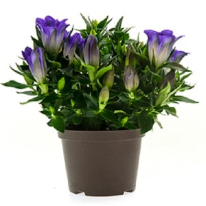 Gentiana scabra ROCKY DIAMOND BLUE HEART