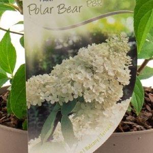 Hydrangea paniculata 'Polar Bear' (Dool Botanic)