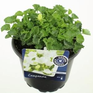 Campanula carpatica 'Weisse Clips' (Kwekerij de Noordpoel)