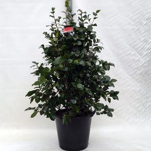 Camellia japonica 'Lady Campbell' (Floribras Garden Plants)