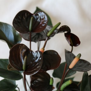 Anthurium BLACK LOVE (Karma Plants)