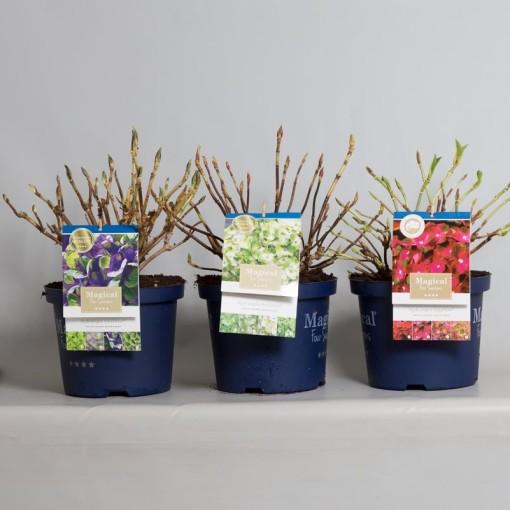 Hydrangea macrophylla MAGICAL FOUR SEASONS MIX (Jong Plant BV, De)