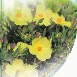 Halimium libanotis (Dool Botanic)