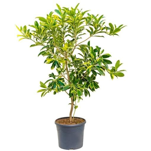 Fagraea ceilanica 'Variegata' (Nieuwkoop Europe B.V.)