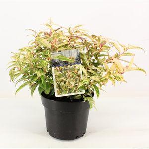 Leucothoe fontanesiana 'Makijaz'