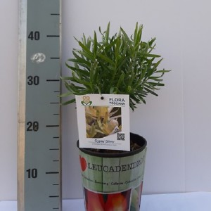 Leucadendron floridum 'Gypsy Silver'