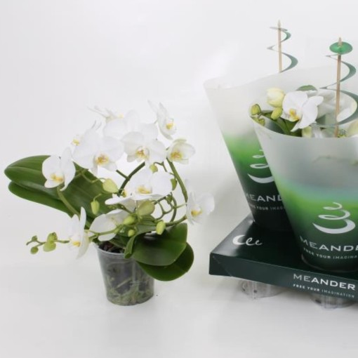 Phalaenopsis 'Tropic Snowball' (Ter Laak Orchids Midiflora)