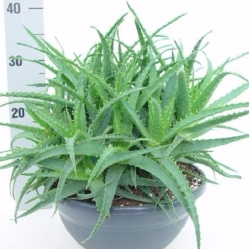 Aloe arborescens (van der Hoorn Succulenten)