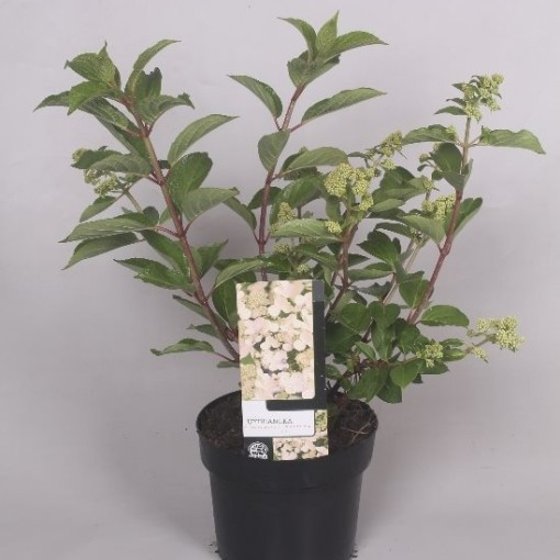 Hydrangea paniculata 'Dharuma' (Jesper Mathot Potcultures)