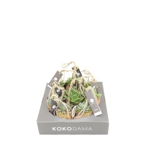 Succulents MIX (Kokodama)