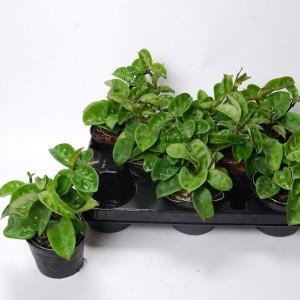 Hoya carnosa 'Krinkle 8' (Van der Arend Tropical Plantcenter)