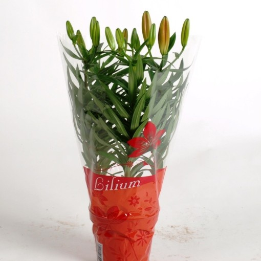 Lilium 'Matrix' (Joy Plant)