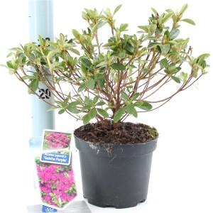 Rhododendron 'Geisha Purple'