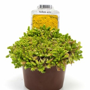 Sedum acre