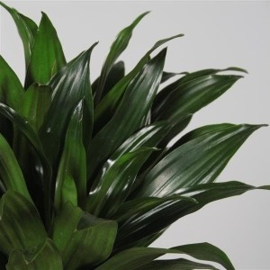 Dracaena fragrans 'Compacta' (JoGrow B.V.)