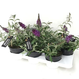 Buddleja SUMMER BIRD BLUE (De Liesvelden Kwekerij)