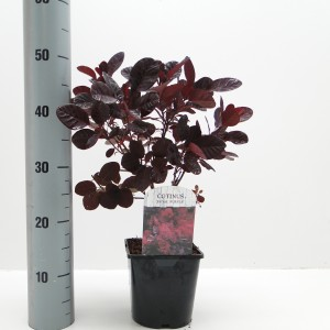 Cotinus coggygria 'Royal Purple' (Hooftman boomkwekerij)