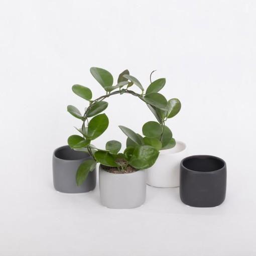 Hoya carnosa (Gasa DK)