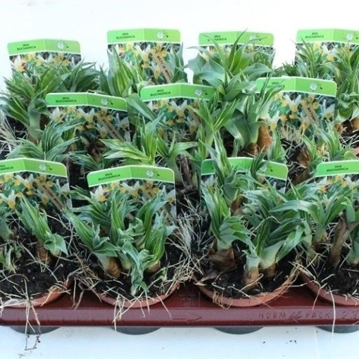 Iris bucharica (Gebr. Straathof)
