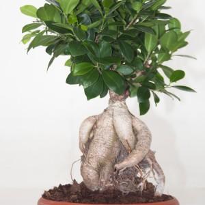Ficus microcarpa 'Ginseng' (Ammerlaan )