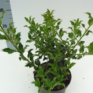 Ilex MIX (About Plants Zundert BV)