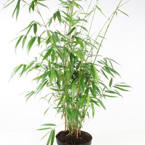 Fargesia robusta 'Pingwu' (FlorAmor)