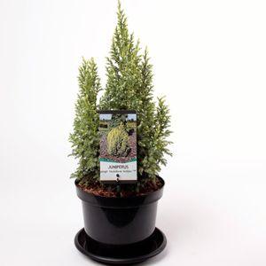 Juniperus pingii 'Hulsdonk Yellow'