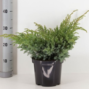 Juniperus squamata 'Blue Swede' (Bremmer Boomkwekerijen)
