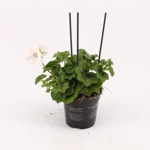 Pelargonium GRAZIOSA ROYAL WHITE