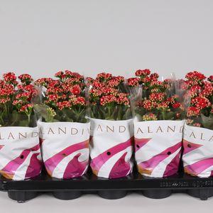 Kalanchoe blossfeldiana CALANDIVA RED