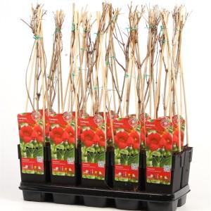 Campsis radicans (Hoogeveen Plants)