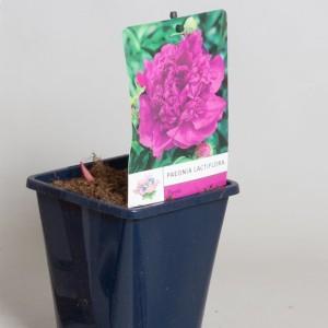 Paeonia LACTIFLORA MIX (De Jong Plant BV)