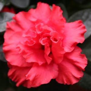 Rhododendron 'Jimmy' (De Bruyne - Flandresse)