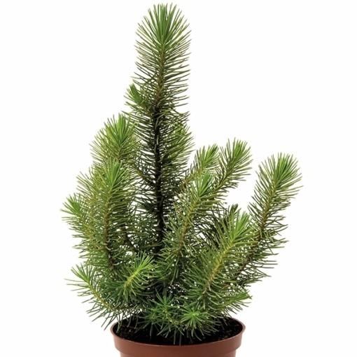 Pinus pinea 'Happy Star' (Gasa DK)