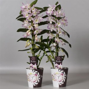 Dendrobium nobile STAR CLASS SEA MARY