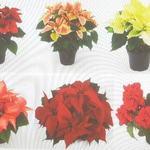 Euphorbia pulcherrima MIX (Joy Plant)