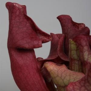 Sarracenia 'Ewelina' (Stricker Plants)