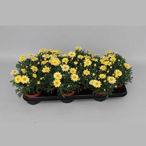 Argyranthemum frutescens LA RITA YELLOW (Gebr. Grootscholten)