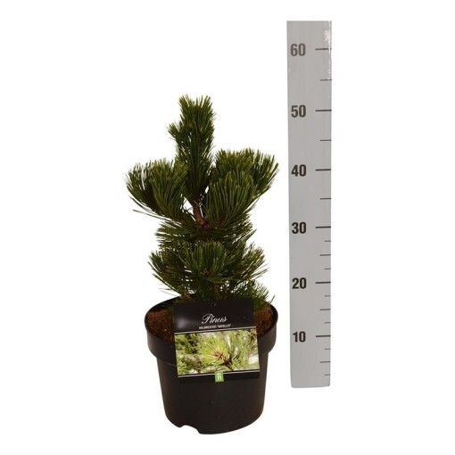 Pinus heldreichii 'Satellit' (Boomkamp Boomkwekerijen B.V.)