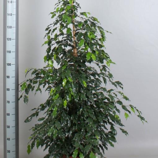 Ficus benjamina 'Midnight Lady' (De Amstel BV)