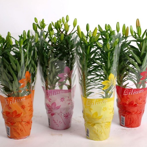 Lilium ASIAN HYBRID MIX (Joy Plant)