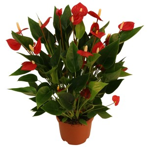 Anthurium MILLION FLOWERS RED (Karma Plants)