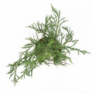 Cryptomeria japonica 'Rasen' (Bremmer Boomkwekerijen)