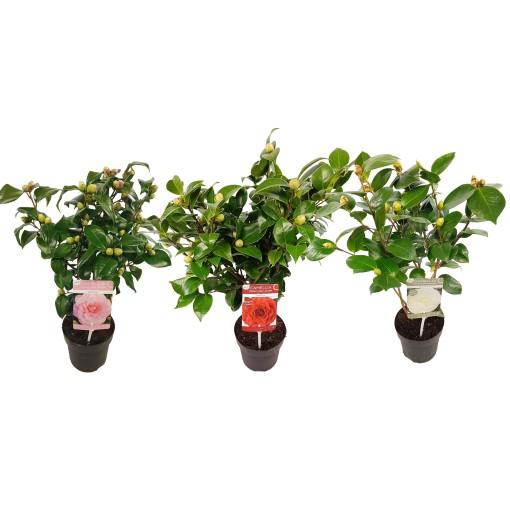 Camellia japonica MIX (Son & Koot BV)
