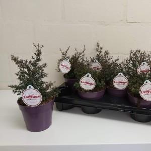 Leptospermum scoparium LAROUGE