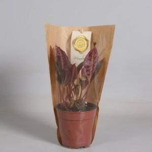 Monolena primuliflora (Handelskwekerij van der Velden)