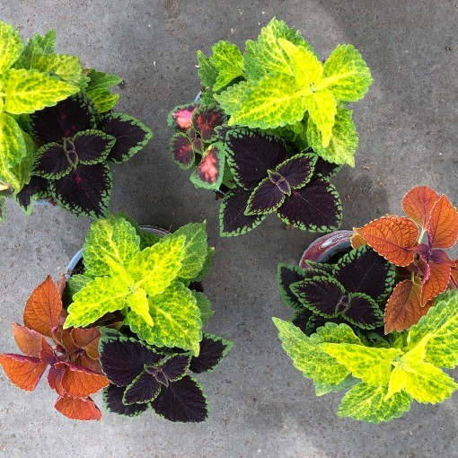 Coleus MIX IN POT (Experts in Green)