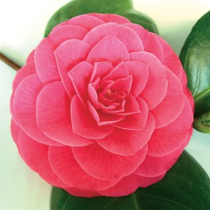 Camellia japonica 'Conte di Cavour' (Flora Toscana)
