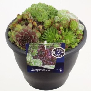 Sempervivum MIX IN POT (Kwekerij de Noordpoel)
